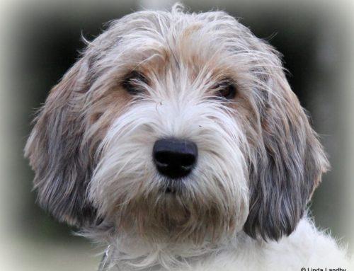 Ismans Diana 2:a bästa svenska hund på norska Vegaprovet
